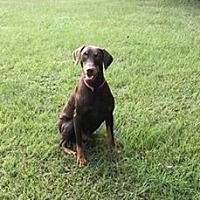 Lone Star Doberman Rescue in Fort Worth, Texas