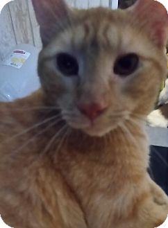 Domestic Shorthair Cat for adoption in Orlando-Kissimmee, Florida - Slick