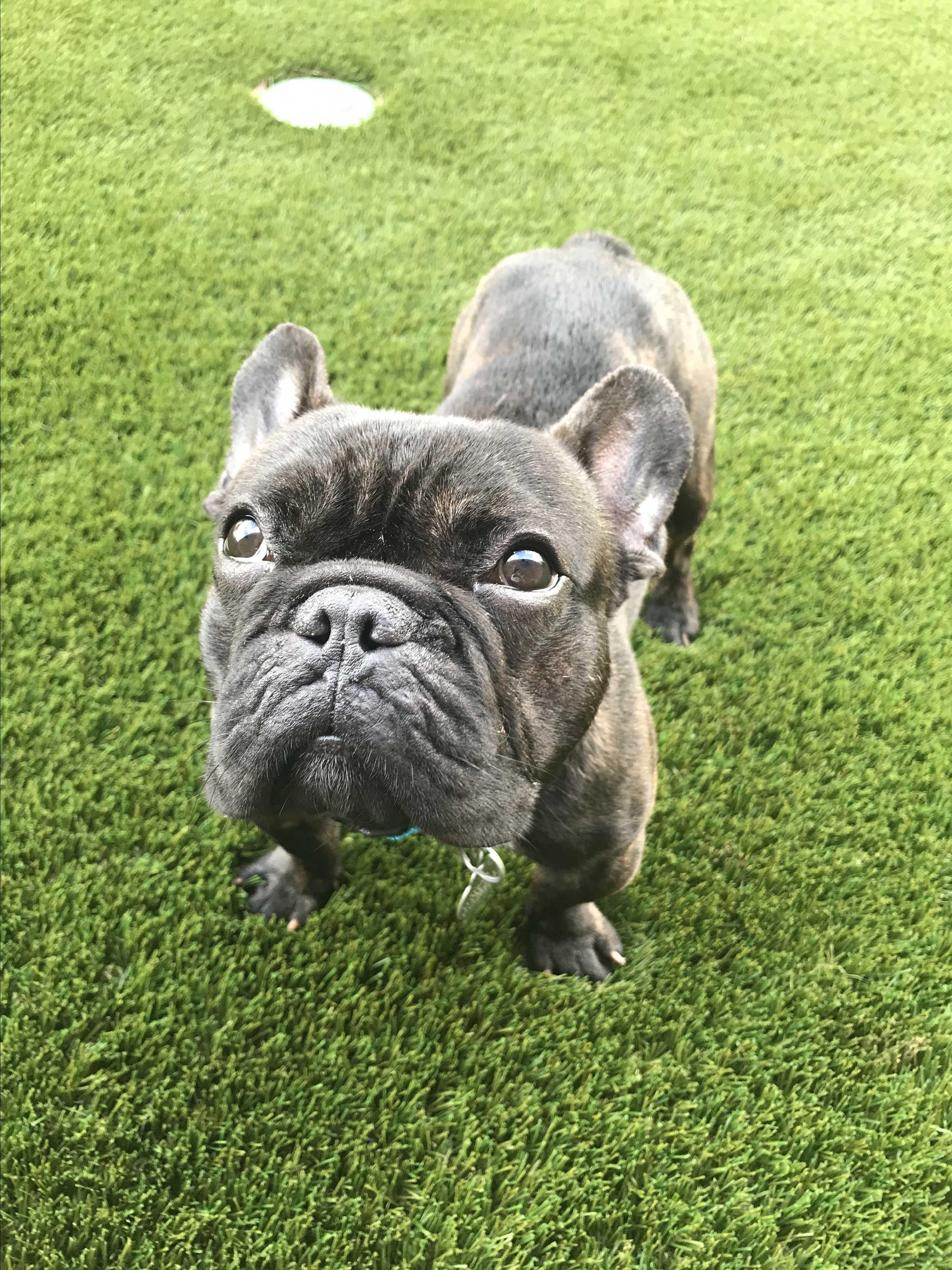 Madison Wi French Bulldog Meet Francois A Pet For Adoption