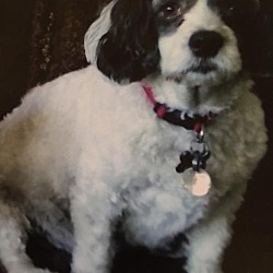Cocker Spaniel Puppies for Sale in Minnesota - Adoptapet com