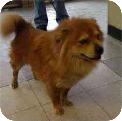 Oakland Gardens Ny Chow Chow Meet Nala A Pet For Adoption