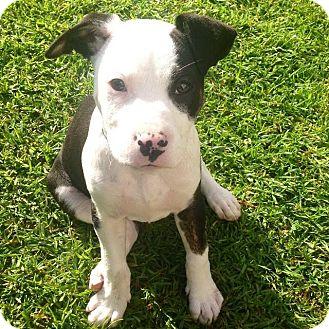 Redondo Beach Ca American Staffordshire Terrier Meet Ariana A