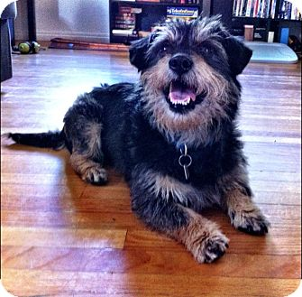 Saskatoon, SK - Cairn Terrier  Meet Gatsby a Pet for Adoption