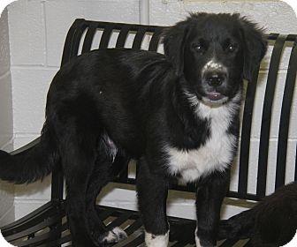 Great Pyrenees/Labrador Retriever Mix Puppy for adoption in Marietta, Ohio - Koda (Neutered)