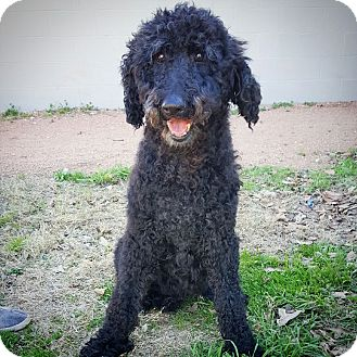 Poodle (Standard) Dog for adoption in Fredericksburg, Texas - Ethel