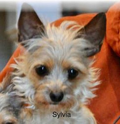 Covington, KY - Yorkie, Yorkshire Terrier  Meet Sylvia a Pet for