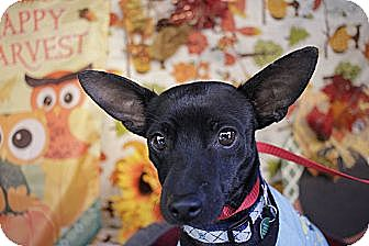 Chihuahua Mix Dog for adoption in Pittsburgh, Pennsylvania - Dude