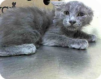 New Coon Meet York A Pet Dream-russian Blue Maine Ny For - Kittens Adoption