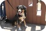 Australian Shepherd/Bernese Mountain Dog Mix Dog for adoption in Simi Valley, California - Henry