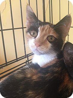 Domestic Shorthair Kitten for adoption in Encinitas, California - Frangipani