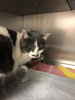 Adopt A Pet :: Veronica  - Moose Jaw, SK