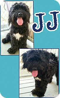 Maltese/Terrier (Unknown Type, Medium) Mix Dog for adoption in Edwards AFB, California - JJ