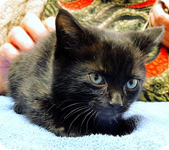 Domestic Shorthair Kitten for adoption in Creston, British Columbia - Tate