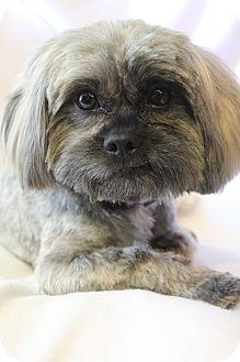 Hamburg Pa Shih Tzu Meet Jasper A Pet For Adoption