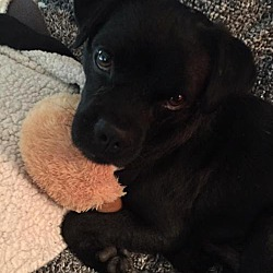 Pug Puppies for Sale in Chesapeake Virginia - Adoptapet com