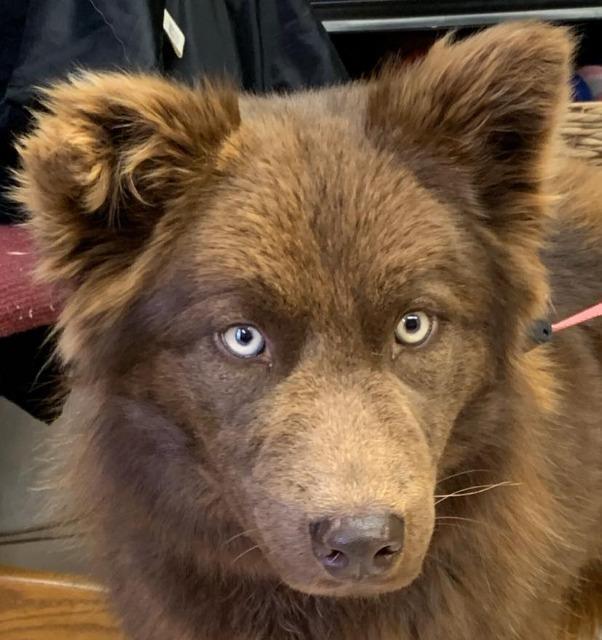 Adopt Carrie Bear A Australian Shepherd / Husky / Mixed