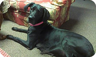 Marion Il Great Dane Meet Dutchess A Pet For Adoption