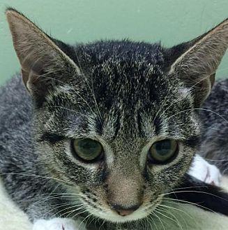 Domestic Shorthair Kitten for adoption in Auburn, California - Demi