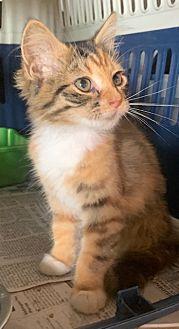 Adopt A Pet :: Nala  - Dumfries, VA