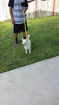 San Antonio, TX - Westie, West Highland White Terrier  Meet