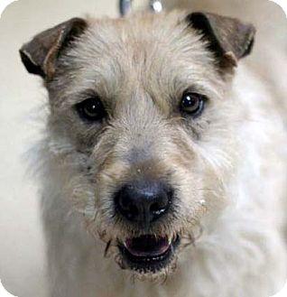 Adrian, MI - Cairn Terrier  Meet Griff a Pet for Adoption