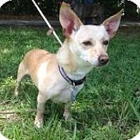 Adopt A Pet :: Dino - Kingwood, TX