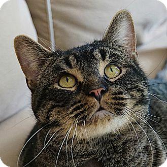 Domestic Shorthair Cat for adoption in Toronto, Ontario - Benson