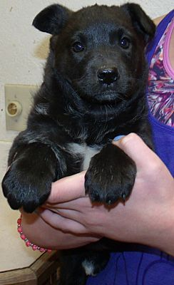 Corona Ca Shepherd Unknown Type Meet Teddy Bear Pups C A Pet