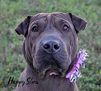 Adopt A Pet :: Happy Shea  - Houston, TX