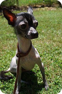 Newark De Mexican Hairless Meet Bonsai A Pet For Adoption