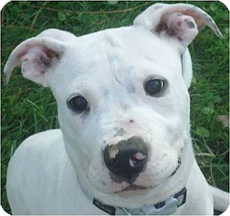 Beachwood, OH - Dogo Argentino  Meet Beemer a Pet for Adoption