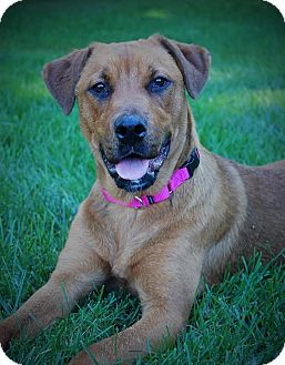 Rochester/Buffalo, NY - Mastiff  Meet Scarlett a Pet for