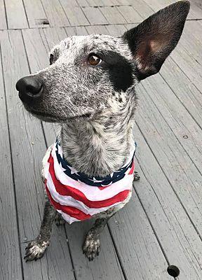 Warren Me Australian Cattle Dog Meet Bingo New England A Pet