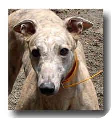 Greyhound Dog for adoption in Roanoke, Virginia - Slinger