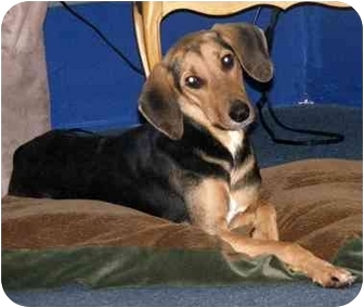 Black and Tan Coonhound Mix Dog for adoption in Palm Harbor, Florida - Faline