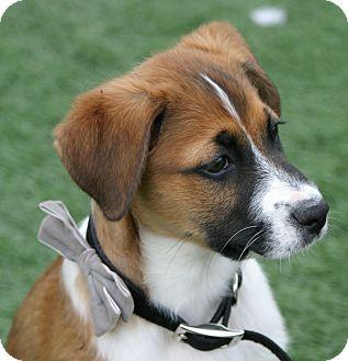 Bellflower, CA - St  Bernard  Meet Archer a Pet for Adoption