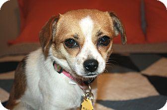Los Angeles Ca Beagle Meet Poppy Im A Cheagle A Pet For