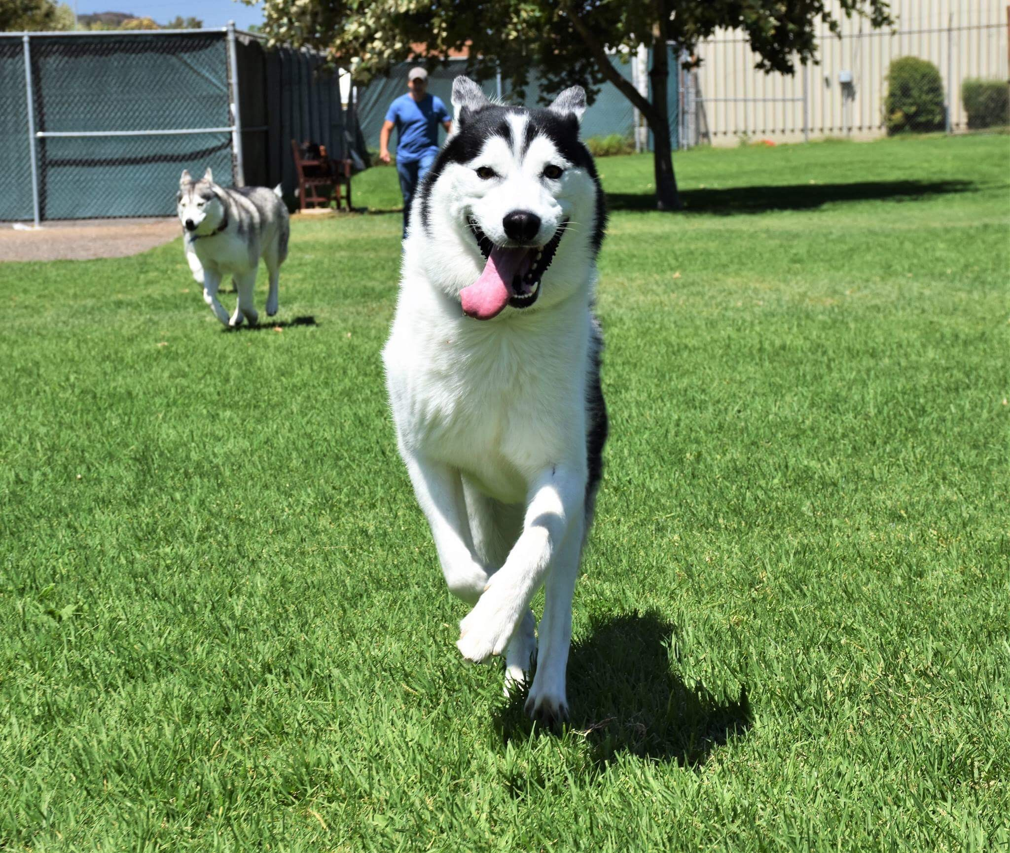 Husky puppies for sale yucca valley - Husky Puppies For Sale Yucca Valley 18