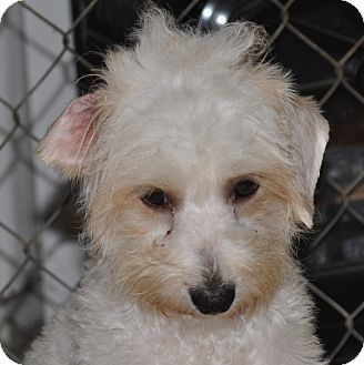 Terrier (Unknown Type, Small)/Poodle (Miniature) Mix Dog for adoption in Tumwater, Washington - Winston