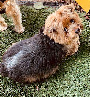 Adopt A Pet :: BOO BEAR  - Oakland, CA
