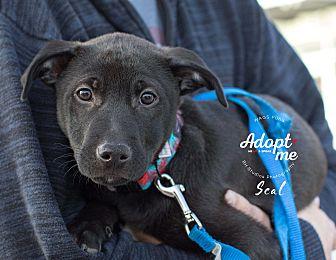 Adopt A Pet :: Seal  - Houston, TX