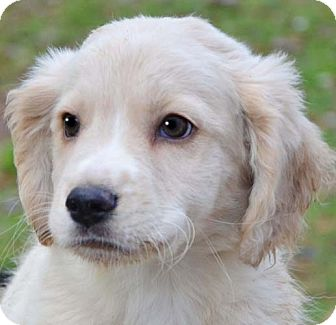 Staunton Va Golden Retriever Meet Preston A Pet For Adoption