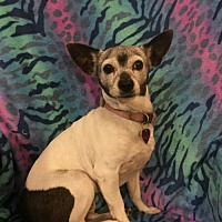 Rat Terrier Mix Dog for adoption in Tomball, Texas - Susie - SENIOR