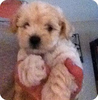 Poodle (Miniature)/Maltese Mix Puppy for adoption in Nuevo, California - Mason