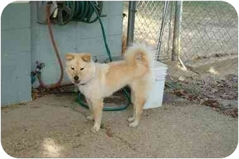 Finnish Spitz Lab mix   Dog Breed Mixes and Mutts   Cute ...  Finnish Spitz Lab Mix
