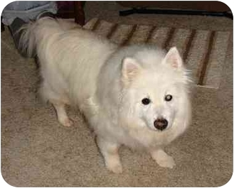 salem or eskimo dog meet snowy a dog for adoption