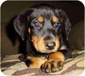 Haughton La Rottweiler Meet Rotterman Puppies 8 A Pet For