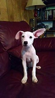 Chihuahua/Jack Russell Terrier Mix Puppy for adoption in Great Falls, Virginia - Sofia