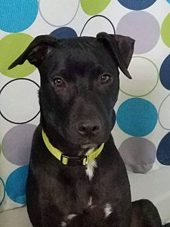 Shepherd (Unknown Type) Mix Dog for adoption in Fairview Heights, Illinois - Thor
