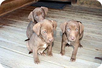 St  Louis, MO - Weimaraner  Meet Weim/Lab Puppies a Pet for